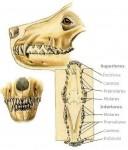 Dentadura carnívoro