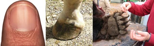 Uña humana, pezuña de caballo y garra de oso grizzly